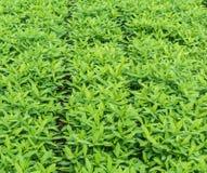Crotalaria, Deckfrucht hält Bodenfeuchtigkeit Lizenzfreie Stockfotos