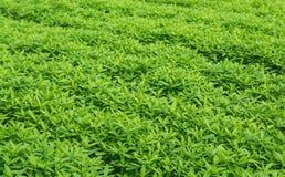 Crotalaria, Deckfrucht hält Bodenfeuchtigkeit Lizenzfreies Stockfoto