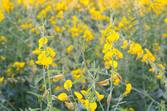 Crotalaria Royalty Free Stock Photos