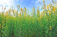 Crotalaria flower field under blue sky background Stock Photo