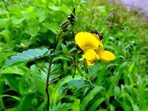 Crotalaria hebecarpa Fotografia Royalty Free