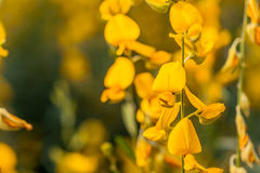 Crotalaria jaune de fleur Photos libres de droits