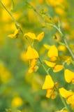 Crotalaria juncea Lizenzfreies Stockfoto