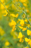 Crotalaria juncea Royalty Free Stock Photo