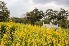 Yellow fields of Crotalaria junceasunn hemp and small white bridge at Phutthamonthon Public Park,Nakhon Pathom Province,Thailand royalty free stock photography