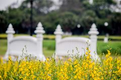 Yellow fields of Crotalaria junceasunn hemp and small white bridge at Phutthamonthon Public Park,Nakhon Pathom Province,Thailand stock images