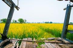 Crotalaria juncea nel campo Fotografia Stock