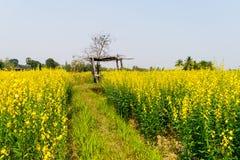 Crotalaria juncea nel campo Immagini Stock Libere da Diritti