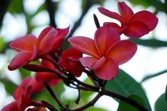 Crotalaria juncea stock photo