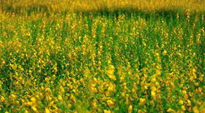 Crotalaria juncea, SunHemp is a plant that can be grown to nourish the soil and also has beautiful flowers.  stock image