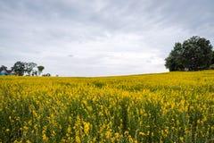 Crotalaria juncea or Sunn hemp flowers fields.