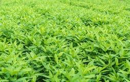 Crotalaria, okładkowej uprawy utrzymań glebowa wilgoć zdjęcie stock