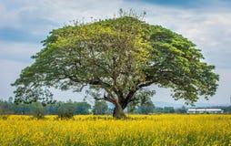 Crotalariafält Royaltyfria Bilder