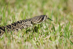 Crotalus adamanteus Royalty Free Stock Photography