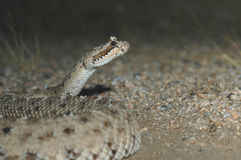 Crotalus cerastes laterorepens Royalty Free Stock Photography
