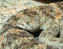Crotalus Stock Images