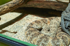 Crotalus Royalty Free Stock Photography