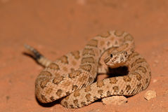 Crotalus concolor Stock Photography