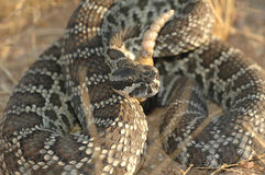 Crotalus helleri Stock Images