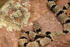 Crotalus lepidus klauberi Fotografia Stock