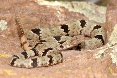 Crotalus lepidus klauberi Stock Image