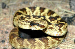 Crotalus molossus Royalty Free Stock Images