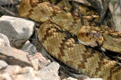 Crotalus molossus. A black-tailed rattlesnake photographed in-situ, in southern Arizona Stock Photography