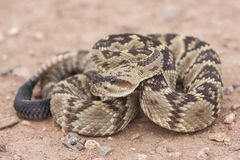 Crotalus molossus is a venomous pit viper species found in the southwestern United States and Mexico. Macro portrait stock images