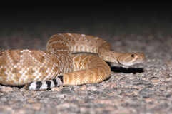 Crotalus ruber Stock Photo