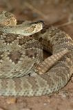 Crotalus scutulatus. A coiled Mojave rattlesnake from southern Arizona Stock Photo
