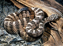 Crotalus Tigris, Tiger Rattlesnake Imagens de Stock