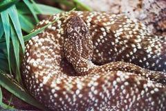 Crotalus Vegrandis Snake Royalty Free Stock Photo