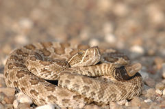 Crotalus viridis viridis Stock Photos