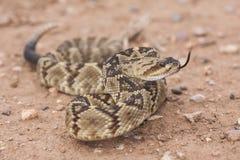 Crotalusmolossus is species van een de giftige die kuiladder in de zuidwestelijke Verenigde Staten en Mexico worden gevonden macr stock afbeeldingen