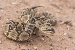 Crotalusmolossus is species van een de giftige die kuiladder in de zuidwestelijke Verenigde Staten en Mexico worden gevonden macr stock afbeelding