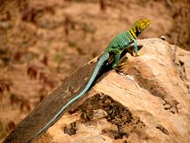 The crotaphytus collaris so called collared lizard. The crotaphytus collaris so called collared lizard is specific with his yellow head and blue body stock photo