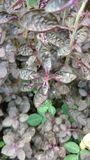 Croten oder purpurrote Waffel Stockfoto