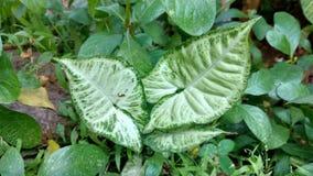 Croten oder Syngonium Podophyllum Lizenzfreies Stockfoto
