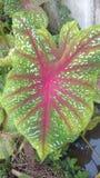 Croten ou podophyllum do syngonium foto de stock