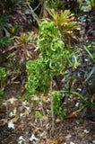 Croton 'Ram's Horn, Codiaeum variegatum. Croton 'Ram's Horn, Codiaeum variegatum in Florida Botanical Garden Royalty Free Stock Photos