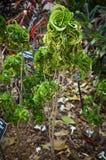 Croton 'Ram's Horn, Codiaeum variegatum. Croton 'Ram's Horn, Codiaeum variegatum in Florida Botanical Garden Stock Photos