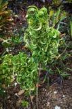 Croton 'Ram's Horn, Codiaeum variegatum. Croton 'Ram's Horn, Codiaeum variegatum in Florida Botanical Garden Stock Photography