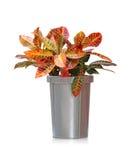 croton φυτό σπιτιών Στοκ Φωτογραφίες