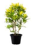 Croton, природа зеленого завода дерева лист свежая Стоковое Фото