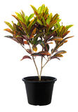 Croton, природа зеленого завода дерева лист свежая Стоковые Фото
