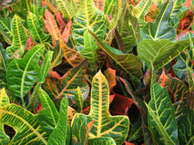 Croton Stock Photography