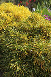 Croton. In a tropical garden Stock Photography