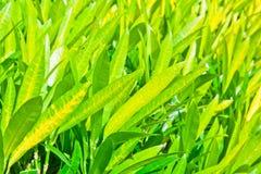 Croton Imágenes de archivo libres de regalías