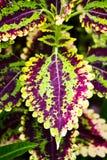 Croton Immagine Stock Libera da Diritti