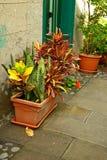 Croton royalty-vrije stock foto's